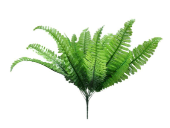 Boston Fern - 1 bush