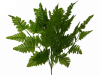 Leather Fern - 1 bush