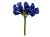 Calla Lily-Royal Blue, singles x 12
