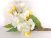 Frangipani Branch-White-12 flowers