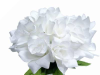 Velvet Bloom Roses - White 1-bunch